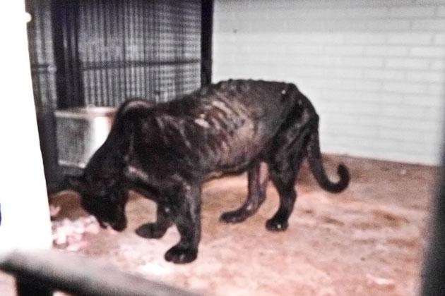 Captive Black Jaguar rescuded from malnourishment